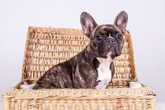坐在一个棕色箱子的布朗法国牛头犬 库存照片