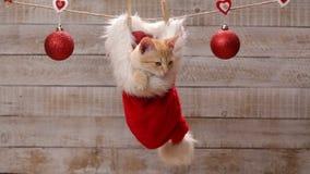坐在圣诞老人帽子垂悬的逗人喜爱的姜猫 影视素材