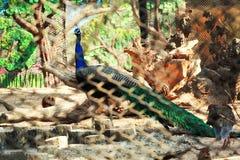坐在动物园里面的孔雀 库存照片