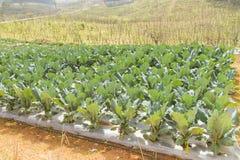 增长的菜在泰国北部的庭院里 库存照片