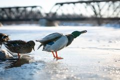 壮观的野鸭男性鸭子震动从它的羽毛的水在美好的冬天日落光的冰 库存图片
