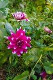 夏天-垂直的照片的自然关闭明亮大丽花花卉生长在庭院里,有绿色叶子的 免版税库存图片