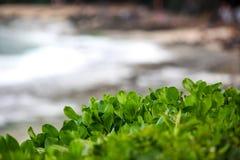 夏威夷海滩植物和海洋背景 免版税库存图片