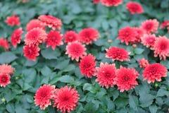 大丁草,巴伯顿雏菊在庭院里,自然背景 库存图片