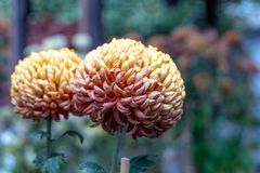 大丽花在秋天期间的中国庭院里 库存照片