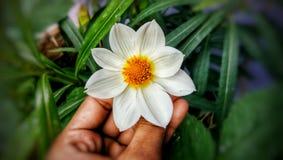 大丽花白花在庭院里 免版税库存照片