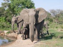 大象家庭在waterhole的 库存图片