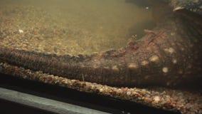 大鳄鱼海龟的尾巴和爪子 爬行动物身体局部 股票视频