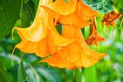 天使的喇叭Brugmansia suaveolens特写镜头或橙色brugmansia花或者曼陀罗 库存照片