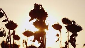 太阳的光芒通过成熟向日葵茎发光 在日落,向日葵已经成熟和准备好收获 股票录像