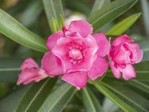 夹竹桃上升了与绿色叶子的开花的花关闭竞争 库存图片