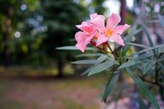 夹竹桃桃红色装饰在城市公园 库存照片