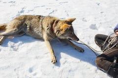 女孩从野生灰狼的手哺养 免版税库存照片