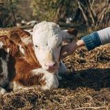 女孩拥抱的小牛 库存图片