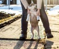 妇女使用与她西伯利亚爱斯基摩人的逗人喜爱,不安定的小的小狗并且带领他在她的后腿,以a为背景 免版税库存照片