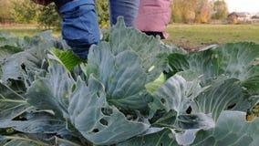 妇女农夫裁减用从庭院的一个刀子嫩卷心菜 收获 股票录像