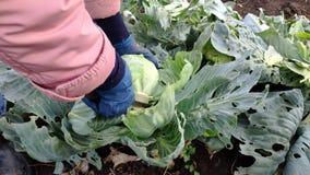 妇女农夫裁减用从庭院的一个刀子嫩卷心菜 收获 股票视频
