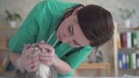 妇女兽医审查猫的牙 影视素材