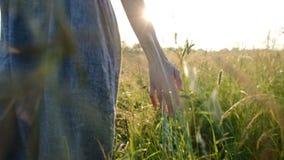 妇女横跨领域和手接触高草走在日落特写镜头 股票视频