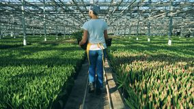 妇女自温室郁金香充分走,农学产业 股票录像