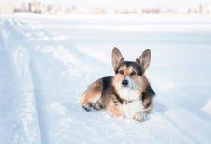 威尔士小狗户外彭布罗克角狗在冬天 逗人喜爱的小狗冬天画象  免版税库存图片