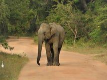 婴孩大象在绿色密林走在一清楚的好日子在亚拉国立公园在斯里兰卡 免版税库存图片