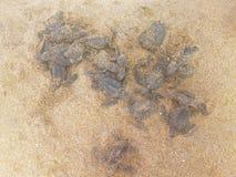 孩子在人的手上在本托特,斯里兰卡最近孵化了乌龟 库存照片