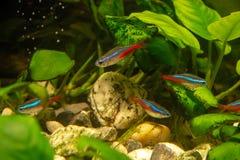 宝莲灯鱼在植物背景的aquariun  免版税库存照片