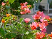 室外红橙色九重葛花种植得外面装饰房子 免版税库存照片