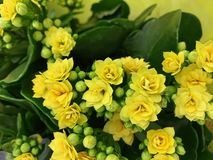 室内植物- Kalanchoe 美丽的花 免版税库存照片