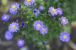 家庭Liznotsvitovyh的秋水仙属秋季毒四季不断的植物,也已知以狂放的番红花的俗名, 库存图片