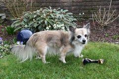 守卫他喜爱的玩具的资深奇瓦瓦狗 免版税库存图片