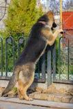 守卫疆土的德国牧羊犬 免版税库存图片