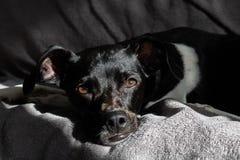 安静黑巴西狗狗在与太阳拍打的光芒的日落在他的面孔的在沙发 库存图片
