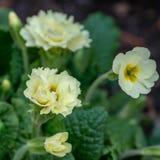 寻常罕见的白色特里花森林共同的报春花樱草属acaulis或的樱草属特写镜头  樱草属类似于carnat 库存照片