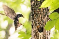 寻常的八哥类-共同的椋鸟母亲,喂养婴孩 库存照片
