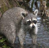 寻找食物的浣熊 图库摄影