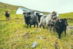 小组与大垫铁的公绵羊在绿草小山在农场,多云天气在法罗岛,北大西洋,欧洲, 免版税库存图片