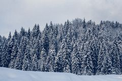 小组积雪的冷杉木 山的积雪的森林 免版税库存图片