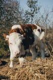 小牛在干草站立 图库摄影