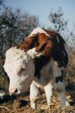 小牛在干草站立 免版税库存照片