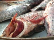 尼罗罗非鱼有延伸作为下来身体的特别,规则,垂直条纹作为尾鳍的下缘, 免版税库存图片