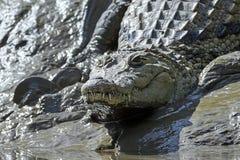 尼罗鳄鱼湾鳄niloticus 免版税库存照片