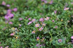 山梗菜花紫色植物学绽放庭院绿色 免版税库存照片
