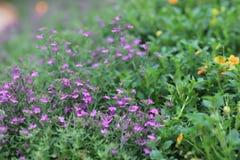山梗菜花紫色植物学绽放庭院绿色 库存照片