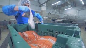 工厂专家调迁鳟鱼片断从一个容器的到另一个 影视素材