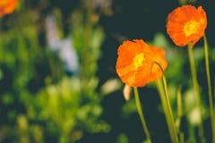 巨大土耳其罂粟属orientale在阳光下 东方罂粟,罂粟属orientale 在太阳光下的庭院 bossies 库存图片