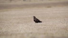 干草原老鹰在大草原 影视素材