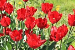 幸福的图片从猩红色郁金香的在乐趣绿色草坪的背景 免版税库存图片