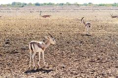 幼小羚羊在巴尼亚斯岛,阿拉伯联合酋长国先生海岛上的一个徒步旅行队公园  图库摄影